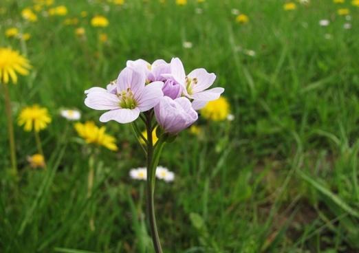 cuckoo flower card amines pratensis tender