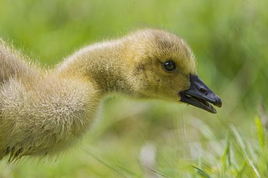 cute baby goose
