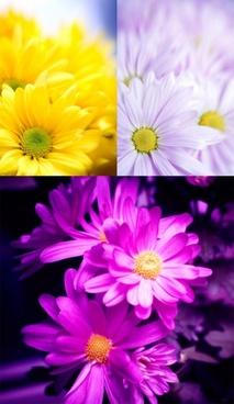 cute little daisydefinition picture 3p