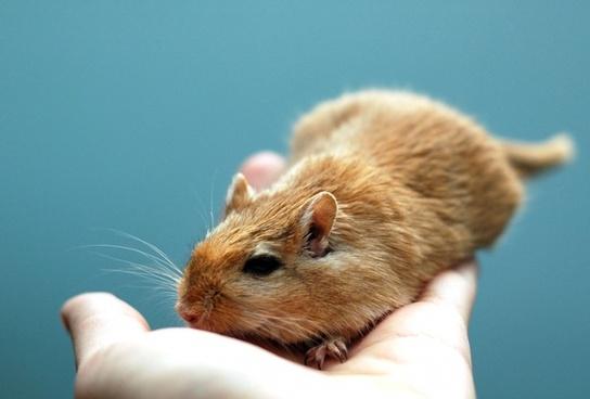 cute little gerbil
