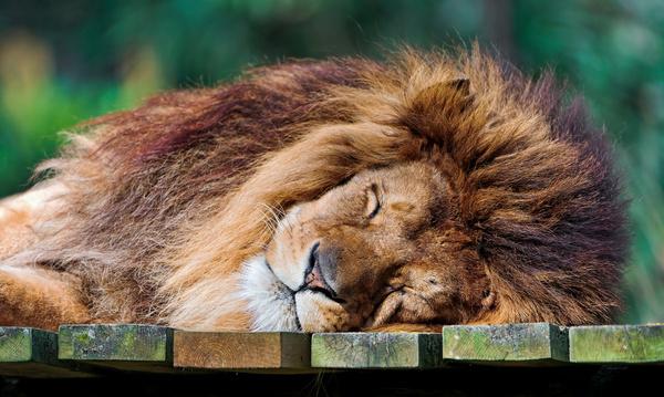 cute sleeping lion