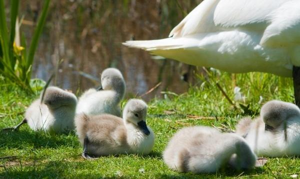cygnets swan cygnet