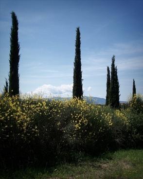 cypress trees brooms cypress