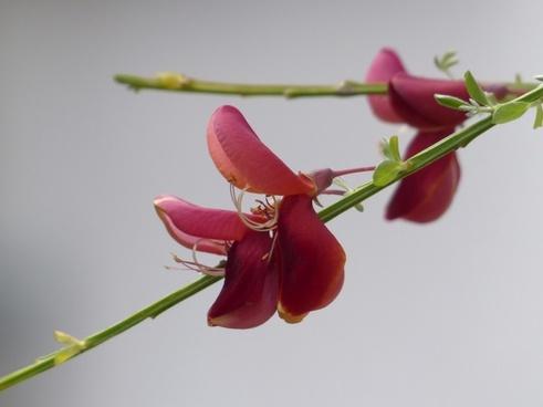 cytisus scoparius flower red