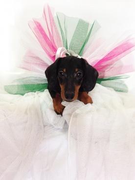 dachshund dream