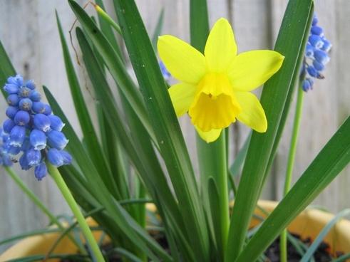daffodil and grape hyacinth