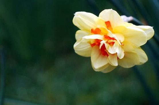 daffodil flower spring