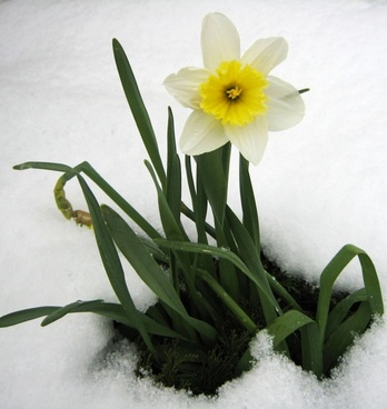 Daffodils free stock photos download 133 free stock photos for daffodil in the snow fandeluxe Choice Image
