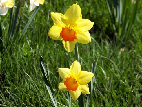 Daffodils free stock photos download 133 free stock photos for daffodils fandeluxe Choice Image