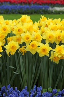 Daffodils free stock photos download 133 free stock photos for daffodils and grape hyacinths fandeluxe Choice Image