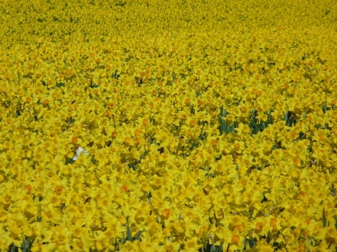 Daffodils free stock photos download 133 free stock photos for daffodils daffodil field osterglocken fandeluxe Choice Image