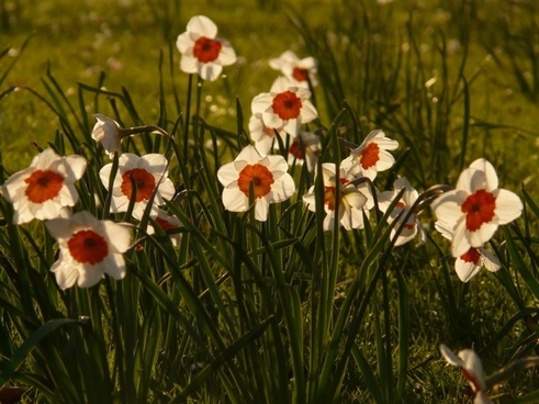daffodils daffodil flower