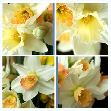 daffodils details