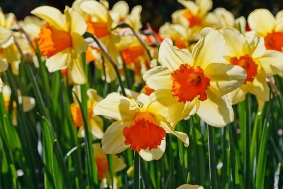 daffodils glowing