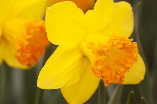 daffodils narcissus amaryllidaceae