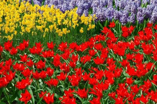 daffodils tulips and hyacinths