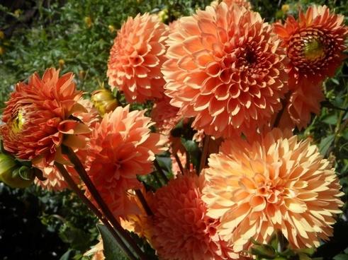 dahlia dahlias flowers