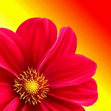 dahlia flower plant