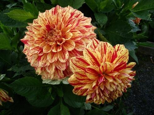 dahlia flowers two tone