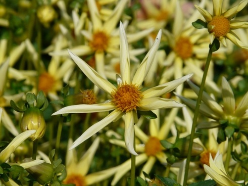 dahlia garden dahlia hortensis