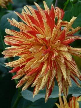 dahlia garden flower fiery