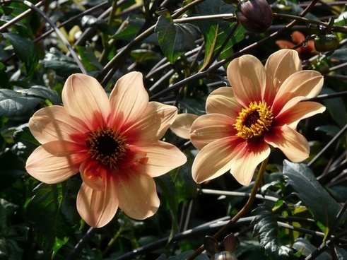 dahlia garden orange reddish