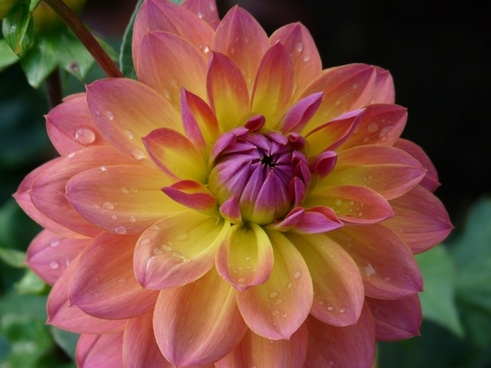 dahlia garden pink yellow