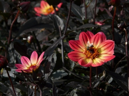 dahlia garden red yellow