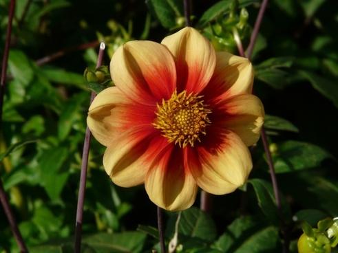 dahlia garden yellow orange