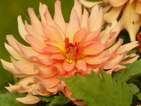 dahlia orange flower