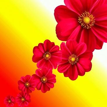 dahlia plant flower