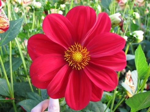 dahlia red flower