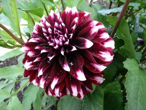 dahlia two-tone plant