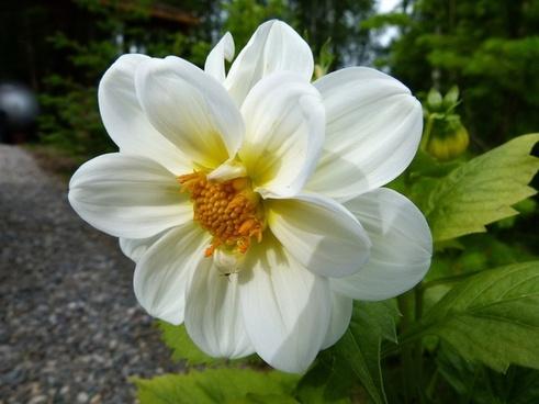 dahlia white flower