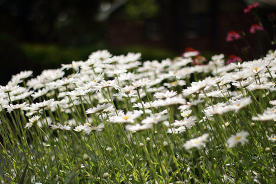 daisies following the sun