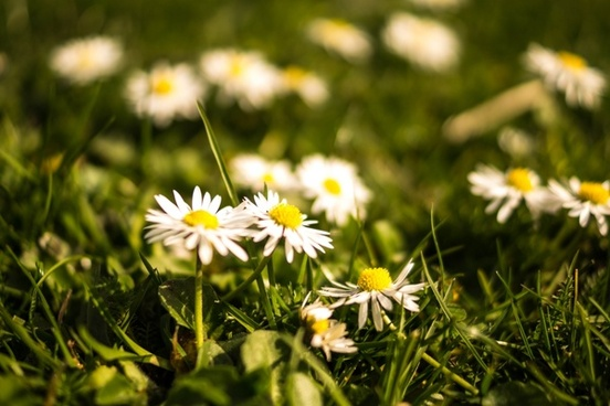 daisies in springtime