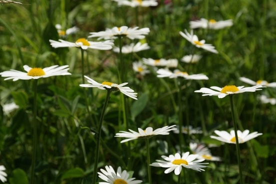 daisies meadow margerite meadows margerite