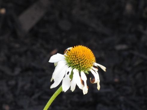daisy bloom petals