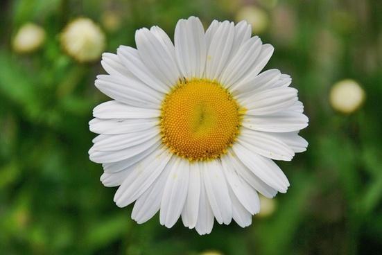daisy daisies flower