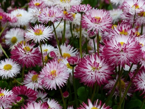 daisy flower bellis philosophy
