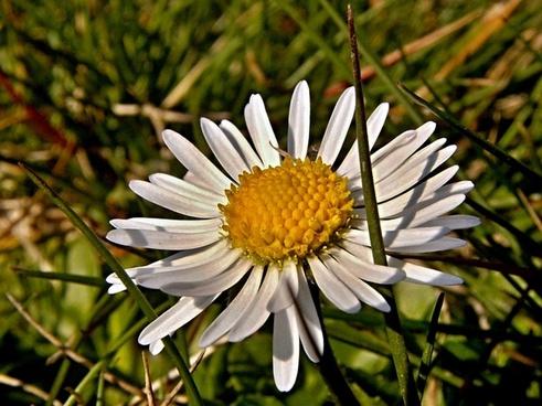 daisy flower grass