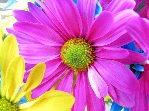daisy flower pink