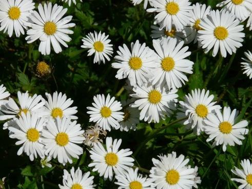 daisy flower plant