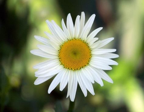 daisy flower spring
