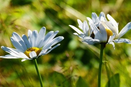 daisy flower white