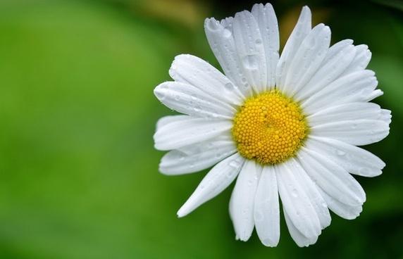 daisy flowers meadow