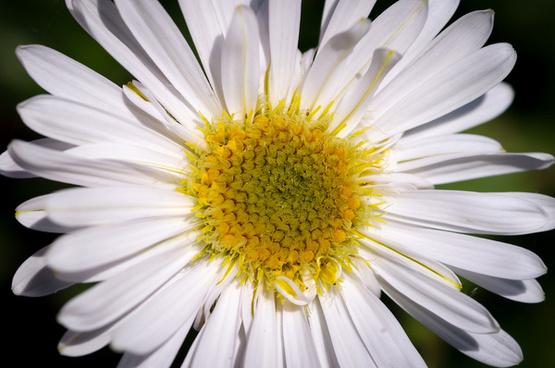daisy ii