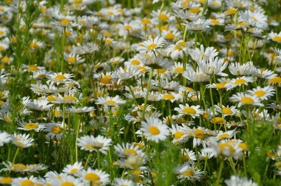 daisy meadow spring