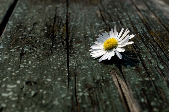 daisy on the wood