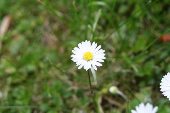 daisy white flower rush